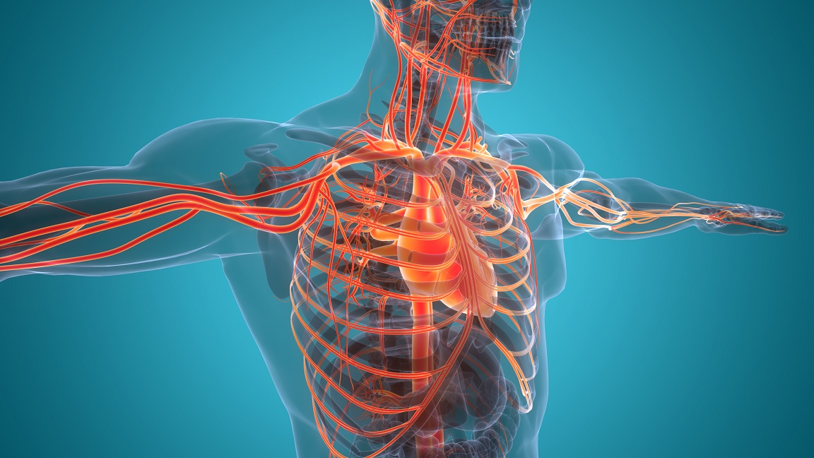 How Your Body Changes in Pregnancy: The Circulatory System